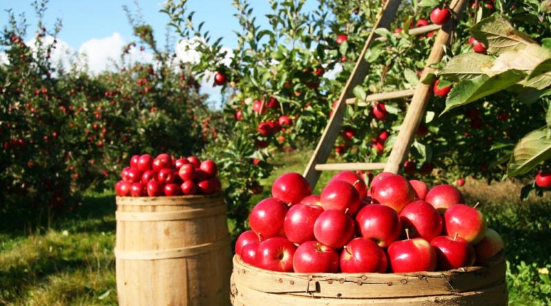 Jabłka zebrane w sadzie, które posłużą do stworzenia octu jabłkowego